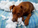 Le comportement destructeur des chiens