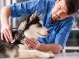 Diminuer le stress du chien lors des visites chez le vétérinaire