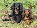 Savoir si un chien est dominant : le test de nichée de Toman