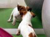Test de caractère d'un chien : le test du miroir de Breteau