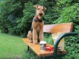 La vie paisible d'un Airedale Terrier dans un parc