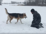 Un maître joue avec son Blue Bay Shepherd