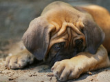 Chien stressé : le stress chez le chien