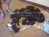 Madagascar - Mise bas record pour un Dogue allemand