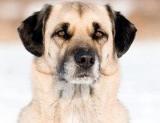 Belgique : Deux molosses dévorent ses chiens