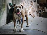 Suisse - Un Pitbull promené par un enfant mord un agent
