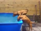 Deux bull mastiffs s'entraident pour récupérer leur jouet preferé