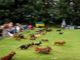 Une course de Teckel