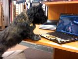 Un Cairn Terrier agressif lorsqu'il regarde une vidéo