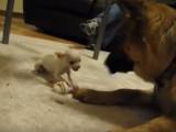 Duel pour un os entre un Berger Allemand et un Chihuahua