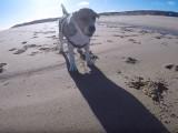 Après-midi plage pour un Beagle