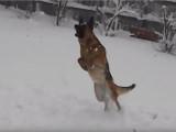 Un Berger Allemand adore jouer dans la neige