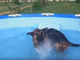 Un Berger Allemand et un Labrador jouent dans une piscine