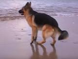 Un Berger Allemand découvre le plaisir de jouer dans les vagues