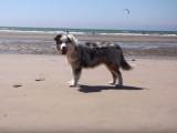 C'est l'heure des vacances à la plage pour Maje un Berger Australien