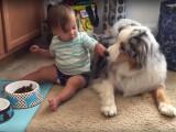 Un bébé nourrit son Berger Australien