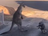 Un homme boxe un kangourou pour sauver son chien et... ça fait un buzz