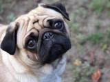 Les 10 races de chiens les plus moches