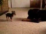 Un chien David contre un chien Goliath