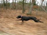 La vitesse d'un chien qui court