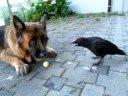Un chien Berger Allemand joue avec un corbeau