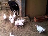 Un chien Border Collie assailli par des poules