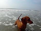 Jeux de plage entre un chien Teckel et un crabe