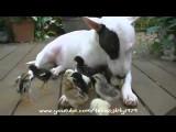 Une nounou Bull Terrier pour des poussins