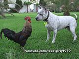 Un Pitbull au milieu de coqs, poules, canards...