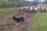 Le pire chien de berger du monde! (vidéo)