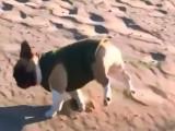 Chien maladroit court sur une plage