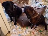 Compilation de chiens coupables et leurs réactions amusantes