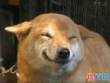Un chien japonais qui sourit