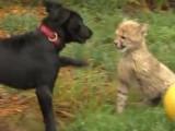 Savanna le guépard et Max le chiot sont les meilleurs amis du monde
