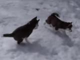 De jeunes huskys jouent dans la neige