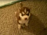 Un bébé husky apprend à aboyer et à obéir