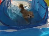 C'est l'heure de la piscine pour ce Chihuahua