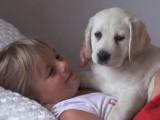 Émouvant réveil d'une petite fille et d'un chiot labrador