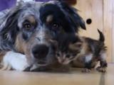 Câlins entre un chien et un chaton