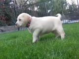 Les premiers jours à la maison pour Suka, un chiot Labrador