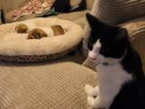 Première rencontre entre un chat et des chiots