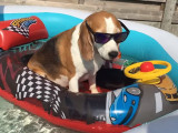 Piscine party pour un adorable Beagle
