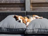 L'évolution de Marie un adorable Beagle