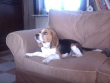 James un chiot beagle aboie