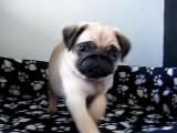 1er jour à la maison pour Puppa un bébé Carlin