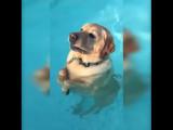 Réaction amusante d'un labrador qui se rend compte qu'il a pied