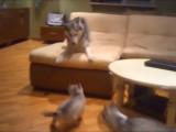 Une maman Huksy s'amuse et joue avec ses chiots