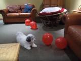 Un Coton De Tulear joue avec des ballons gonflables