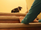 Un chiot Schnauzer essaie de monter un escalier