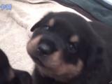 Compilation des chiots Rottweiler les plus mignons